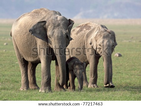 Wild Asian elephant females and baby, Corbett National Park, India