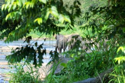 Wild Asian elephant females herd came to drink at the river (winter dry season), watering place. Indian elephant (Elephas maximus) in Sri Lanka rainforest