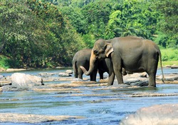 Wild Asian elephant herd came to drink at the river (winter dry season), watering place. Indian elephant (Elephas maximus) in Sri Lanka rainforest