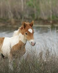 Wild Assateague Island pony