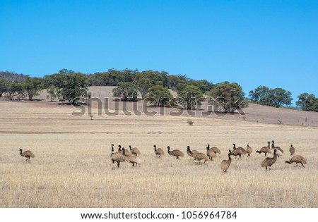 Wild Australian native mob of young emus in scrub land near Alligator Gorge in Wilmington, South Australia, part of the Flinders Ranges.