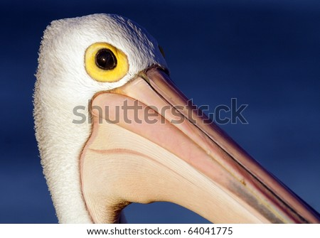 Wild Australian pelican at sunset close-up, Monkey Mia, Shark Bay, W Australia