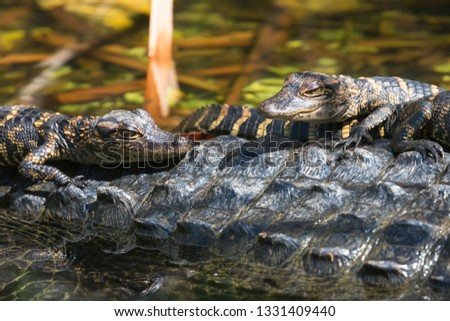 Wild baby alligators staying warm in the sun in Everglades National Park along the Shark Valley Trail (Florida).