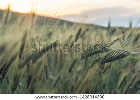 Wild barley. Barley field at sunset