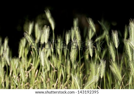 Wild barley grass; hare barley or common foxtail weed; isolated on black ground; excellent copy space