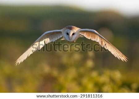 Wild Barn Owl in flight