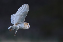 Wild Barn Owl (Tyto alba) in flight with lovely darker contrasting background. Taken in the UK. Non Captive Bird.