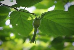 Wild beaked hazelnut involucre hangs from a branch