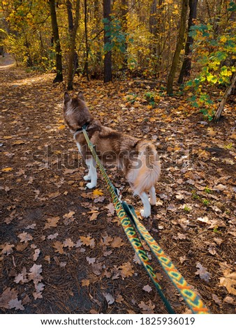 wild, beautiful brown siberian husky, walk in the forest, autumn, dog in the nature Zdjęcia stock ©