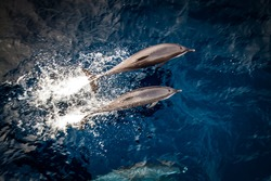 Wild beautiful dolphins jumping out of the water, swimming in a pod