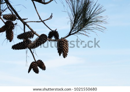 wild beauty of the pine tree crowns #1021550680