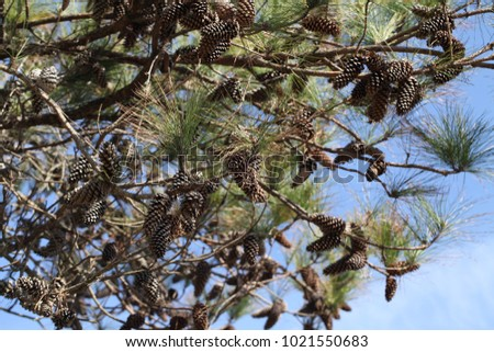 wild beauty of the pine tree crowns #1021550683