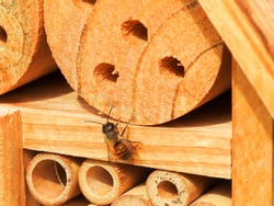 Wild bee (prob. mason bee / Osmia) on an artificial nesting aid (insect hotel)