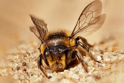 wild bee sitting in sand with wings high and head to camera with visible sharp net eyes