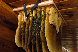 Wild bees and honeycomb in the attic