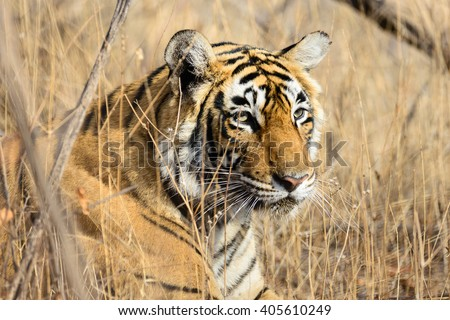 Shutterstock Wild Bengal Tiger (Panthera Tigris Tigris) hiding to catch her Prey, Ranthambore national park, India
