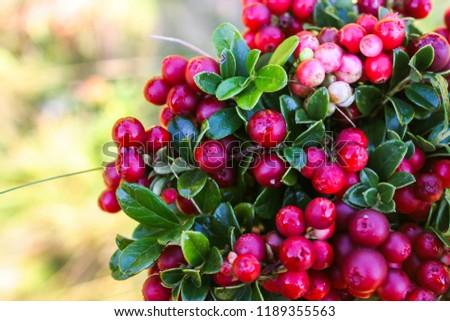 Wild berry cranberries (Vaccinium vitis-idaea). Ripe wild lingonberries. Wild berry cranberries.  Lingonberries. Berries of wild cowberry.