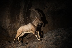 Wild bezoar goat in the nature habitat. Very rare and endangered animal close up. Caucasian wildlife.Big and charismatic creature. Bezoar ibex. Capra aegagrus.