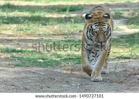 wild big cats and big cat photos #1490727101