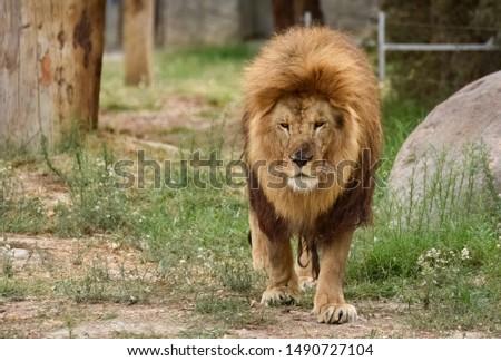 wild big cats and big cat photos #1490727104