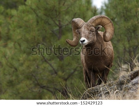 Wild Bighorn Mountain Sheep with large horns standing on cliff with pine tree backdrop Montana bow archery big game hunting Rocky Mountain alpine wildlife viewing and photography Ovis canadensis #152429123
