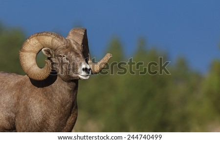 Wild Bighorn Sheep Full Curl Ram against a natural background of evergreen trees and clear blue sky Big game in Rocky Mountain states of Colorado Montana Wyoming Idaho Oregon Washington Utah Nevada #244740499