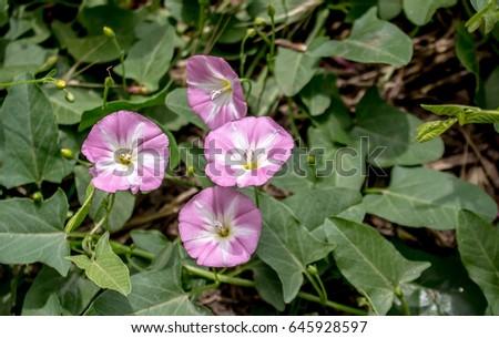 Wild Bindweed Flower #645928597