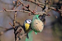 Wild bird eating in feeding station. Tallow ball.