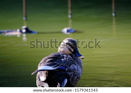 wild bird eurasian spot billed duck