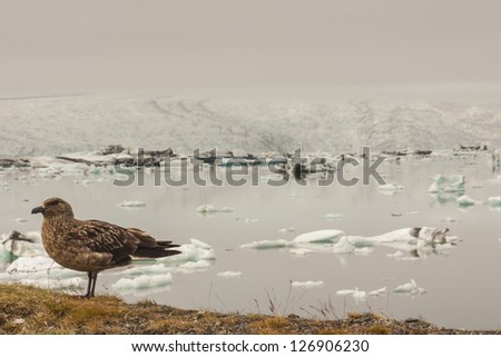Wild bird in background Jokulsarlon glacier lagoon - Iceland. - stock photo