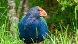 Wild bird in Orokonui Ecosanctuary Dunedin