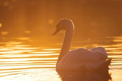 Wild bird mute swan (Cygnus olor) swim in spring on pond, evening sun golden color with nice bokeh on backlight. Czech Republic Europe wildlife