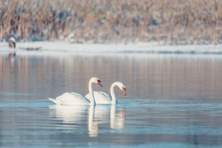 Wild bird mute swan (Cygnus olor) swim in winter on pond, Czech Republic Europe wildlife