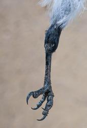 Wild bird paw. Paw of a wild pigeon. Close-up. Pigeon claws and skin texture. Macro photo. Similarity to dinosaur skin. Dead wild bird. Bird feathers. Bird flu.