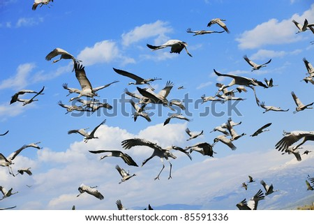 wild birds: common crane (latin: grus grus) life on field