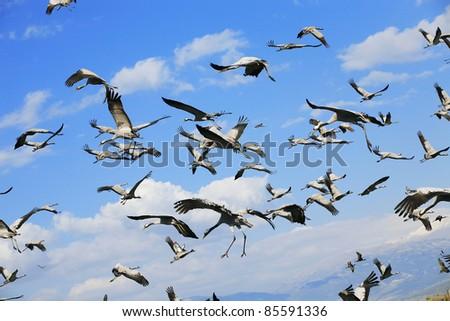 wild birds: common crane (latin: grus grus) life on field
