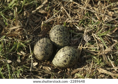 Wild birds' eggs over grass