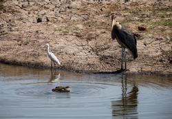 Wild birds in Africa (marabu stork, yellow bill stork, hornbill, kingfisher, ostrich, crane, blue heron, shag, pelican, crown crane, spoonbill, egyptian duck, secretary bird, vulture)