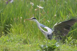 Wild birds on the waterside, blue heron