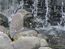 Wild birds on the waterside, little night heron.