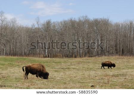 Wild bison herd wandering in the elk island national park in spring, edmonton, alberta, canada