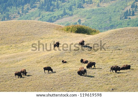 Wild bison in the foothills of Alberta