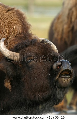 wild bison in yellowstone national park, north america