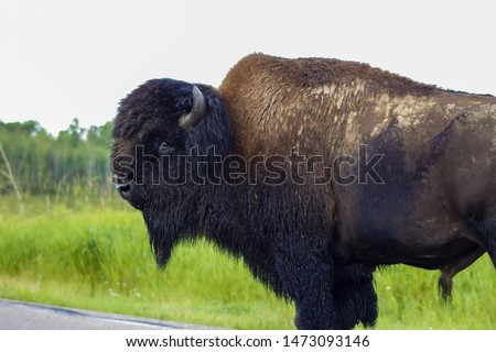 Wild Bison Posing For Pictures