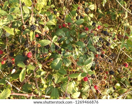 Wild black and red berries growing in the bush under the sun of Spain. Fruits of the blackberry. European forest fruits. Natural color in the brambles.
