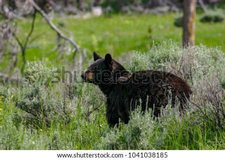 wild black bear in Idaho