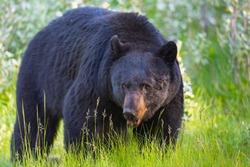 Wild Black Bear in the summertime, Banff and Jasper National Park Alberta Canada