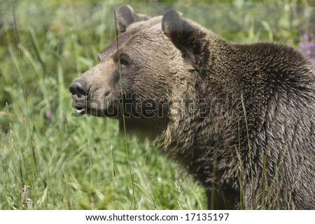 Wild Black Bear (Ursus americanus) in Banff National Park Canada