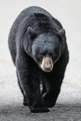 Wild Black Bear walking down a road, Jasper National Park Alberta Canada