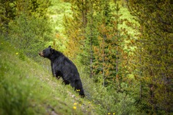 Wild Black Bear walks uphill in forests of Banff and Jasper National Park, Canada situated in canadian Rocky Mountains